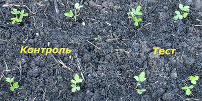 Корнерост свою задачу выполнил, земляника садовая прижилась на 100%