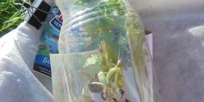 Как перевезти на дачу нежное растение, не повредив его. Простой способ