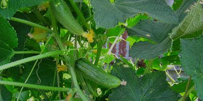 Нужно ли формировать огурцы? Как правильно их прищипывать и способствует ли это повышению урожая?