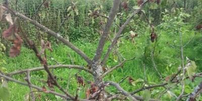 Все листья на яблоне стали коричневого цвета. Что с ней?