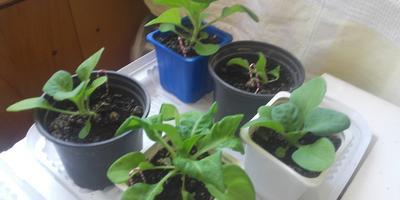 Петуния Ольга F1. Этап 4. Развитие растений и уход за ними