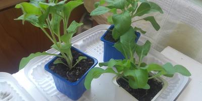 Петуния Синеглазка F1. Этап 4. Развитие растений и уход за ними
