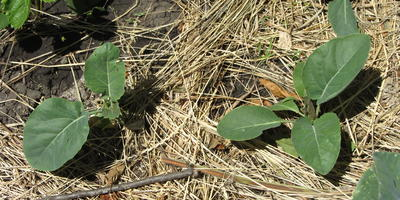 Итоги применения препаратов Биоспектр и трихоплант при выращивании рассады цветной капусты