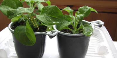 Комплиментунья мятный лайм F1. IV этап. Развитие растений и уход за ними