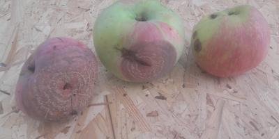 Помогите определить болезнь яблони
