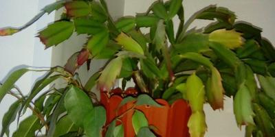 Как ухаживать за декабристом во время цветения?