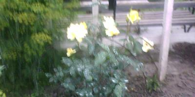 Помогите определить сорта роз