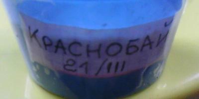Томат КраснобайF1. II этап. Рост и развитие рассады