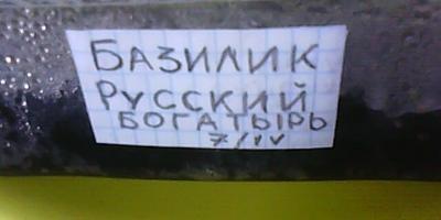 Базилик Русский богатырь. Тест на всхожесть (продолжение)