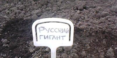 Базилик Русский гигант. Высадка в теплицу и открытый грунт
