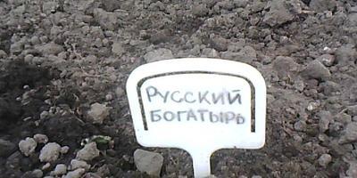 Базилик Русский богатырь. Высадка в теплицу