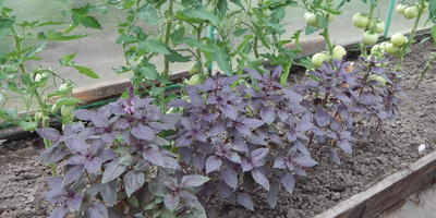 Базилик Фиолетовый. Сбор урожая