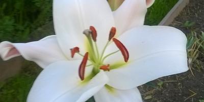 Мои красавицы лилии