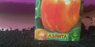 Перец сладкий Оранжевый лев F1. Тест на всхожесть. Часть 2