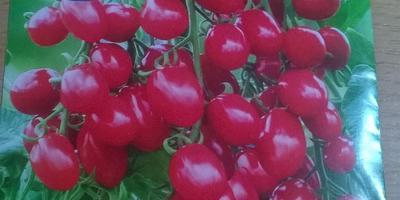 Томат Красные бусы. Тест на всхожесть