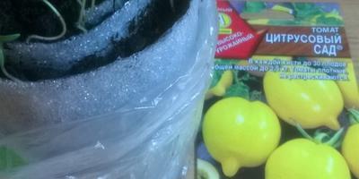 Томат Цитрусовый сад. Тест на всхожесть. Часть 2