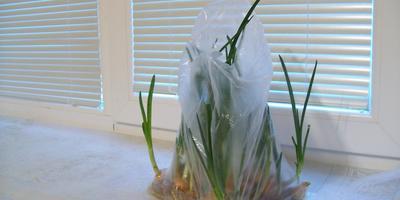 Зеленый лук без неприятного запаха на подоконнике