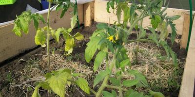 Великое переселение томатов под дуги в ОГ