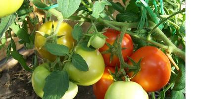 Любаши и новые открытия про помидоры
