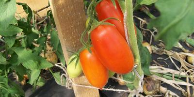 Отчет №1 о призовых помидорках