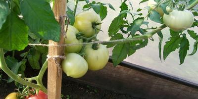 Отчет № 2 о призовых помидорках