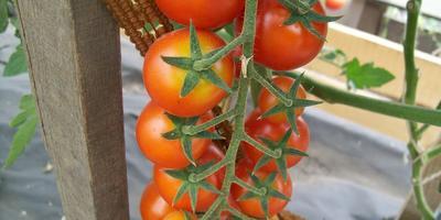 Пять уроков от черри Требус F1 + урожай