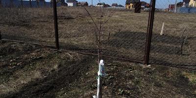Помогите советом с обрезкой плодовых деревьев