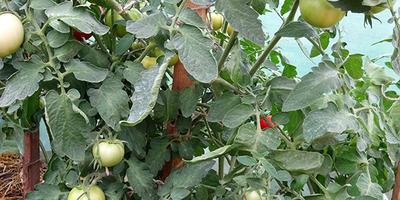 Лирика-1. Фотосессия куста и четырех томатиков