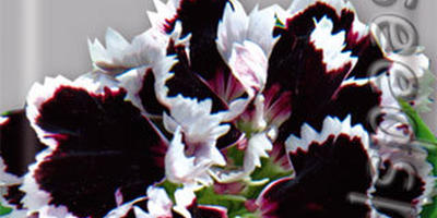 Гвоздики Шабо - яркие, красивые, душистые
