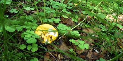 Сыроежки - разноцветное украшение леса