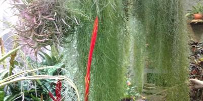Помогите определить, что за чудесное растение я видела в Ботаническом саду Петра Великого в СПб