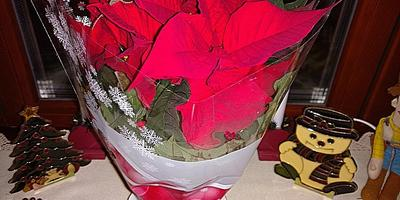 Дорогие семидачники, кто из вас научился продлевать цветение и жизнь пуансеттии в течение 2-3 лет после её покупки?