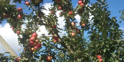 Как обрезать колоновидную яблоньку?