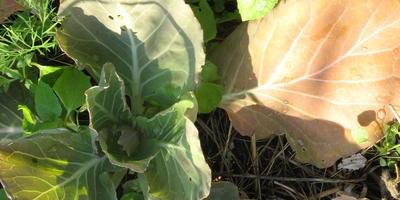 У высаженной месяц назад ранней капусты нижние листья приобрели ржавый цвет. В чем причина?