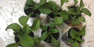 Петуния Комплиментуния  красная. F1. IV этап. Развитие растений и уход за ними