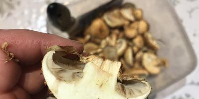 Чешуйчатка обыкновенная или золотистая? И можно ли ее есть?