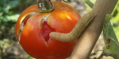 Что за гусеница нагло ест мой помидор?
