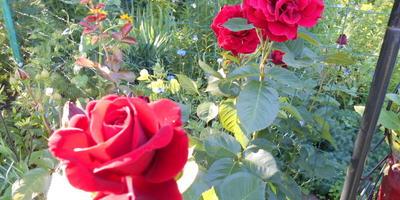 Помогите определить, что за розу мне продали под видом плетистой?