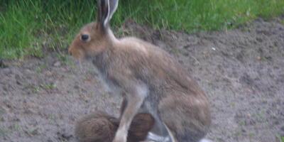 Зайцы на даче