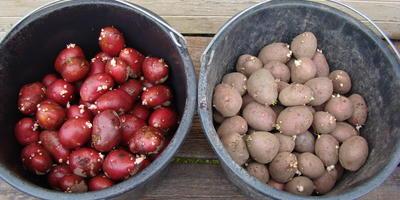 Командор+ для обработки клубней картофеля. Тестирование