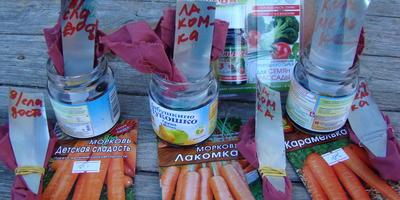 Энерген АКВА. Обработка семян моркови сортов «Детская сладость», «Карамелька» и «Лакомка»