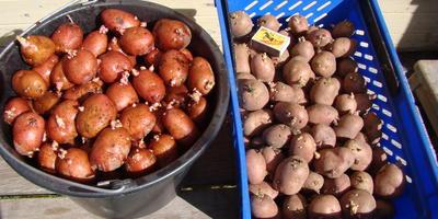 Командор+ для обработки клубней картофеля сорта «Рябинушка»