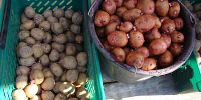 Командор+ для обработки клубней картофеля сорта «Белая»