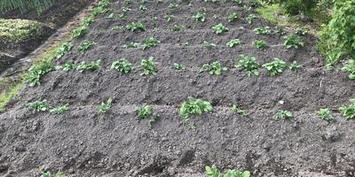 Командор+ для обработки клубней картофеля под условным названием «Заостровская». Всходы
