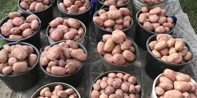 Командор+. Итоги обработки клубней картофеля сорта «Рябинушка». Уборка