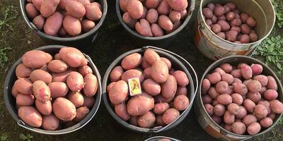 Командор+ для обработки клубней картофеля под условным названием «Заостровская». Уборка