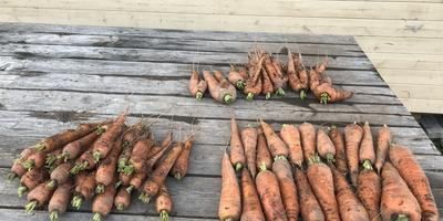 Итоги тестирования Энерген АКВА. Уборка моркови
