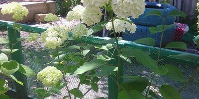 Как правильно пересадить весной гортензию?