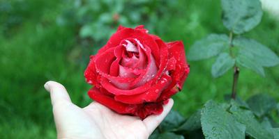 Помогите, пожалуйста, определить, что это за сорт розы?