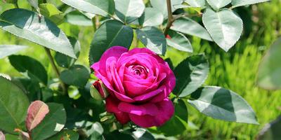 Записки новых дачников. Розы 2017
